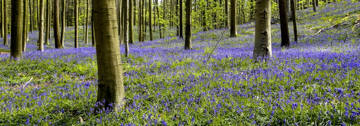 hyacinthen Hallerbos